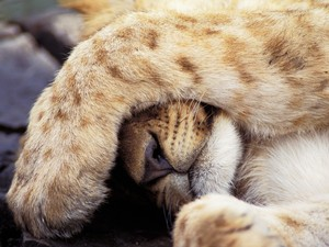 Sleepy lion cub