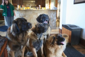 The Leonbergers