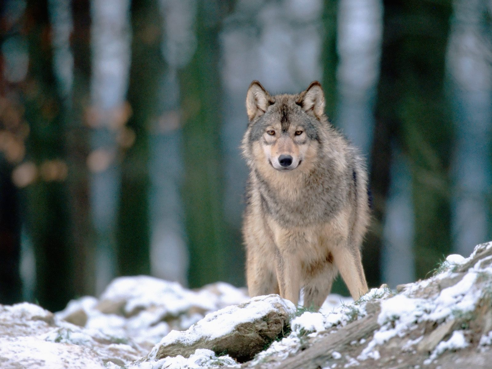 wolves wolves wallpaper 36825796 fanpop