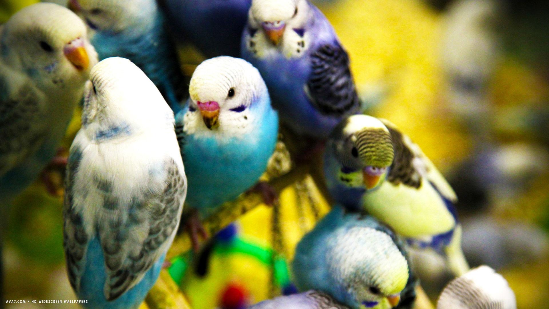 Budgie Parakeet Taming Training Tricks Talking