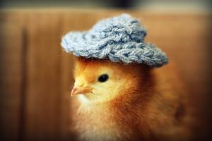 Cute chick, yellow, hehe