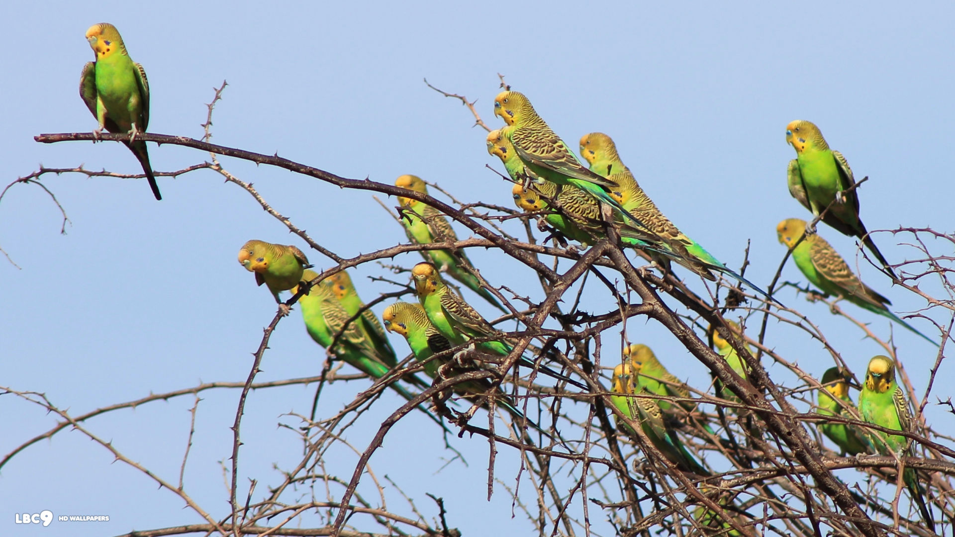 Budgies Images Flock Of Budgie Hd Wallpaper And Background