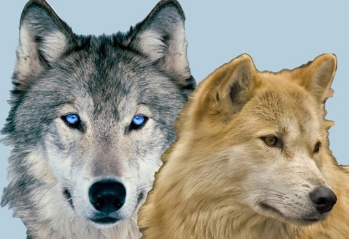 alpha y omega fondo de pantalla entitled Kate and Humphrey as real lobos :)