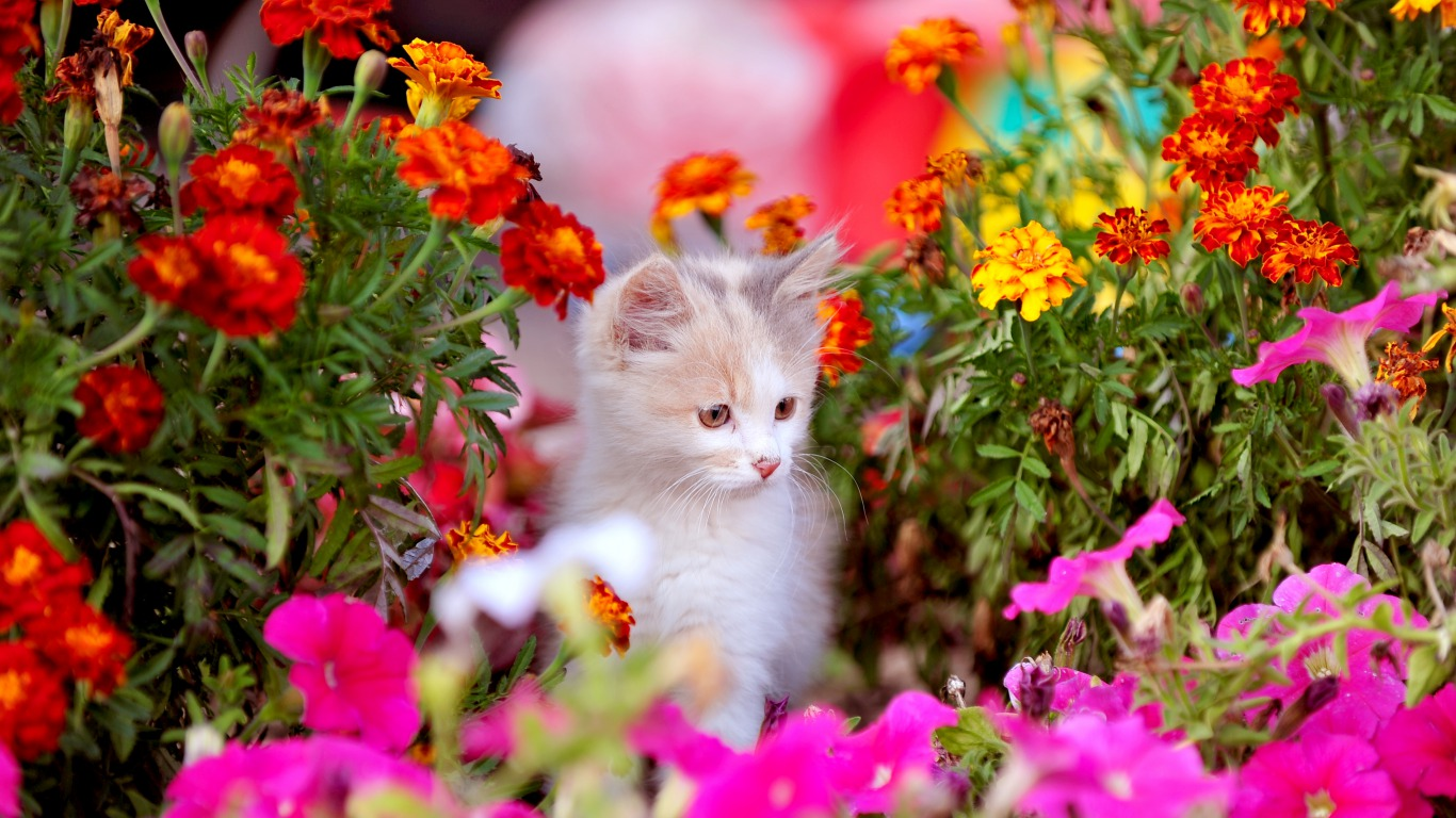 Simple   Wallpaper Horse Colorful - Kitten-with-flowers-cats-36923880-1366-768  Photograph_756736.jpg