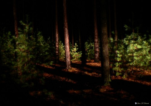 Mother Nature Hintergrund with a ponderosa, a douglas fir, and a sitka fichte called Night Forest