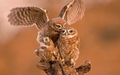 Owls                         - animals wallpaper