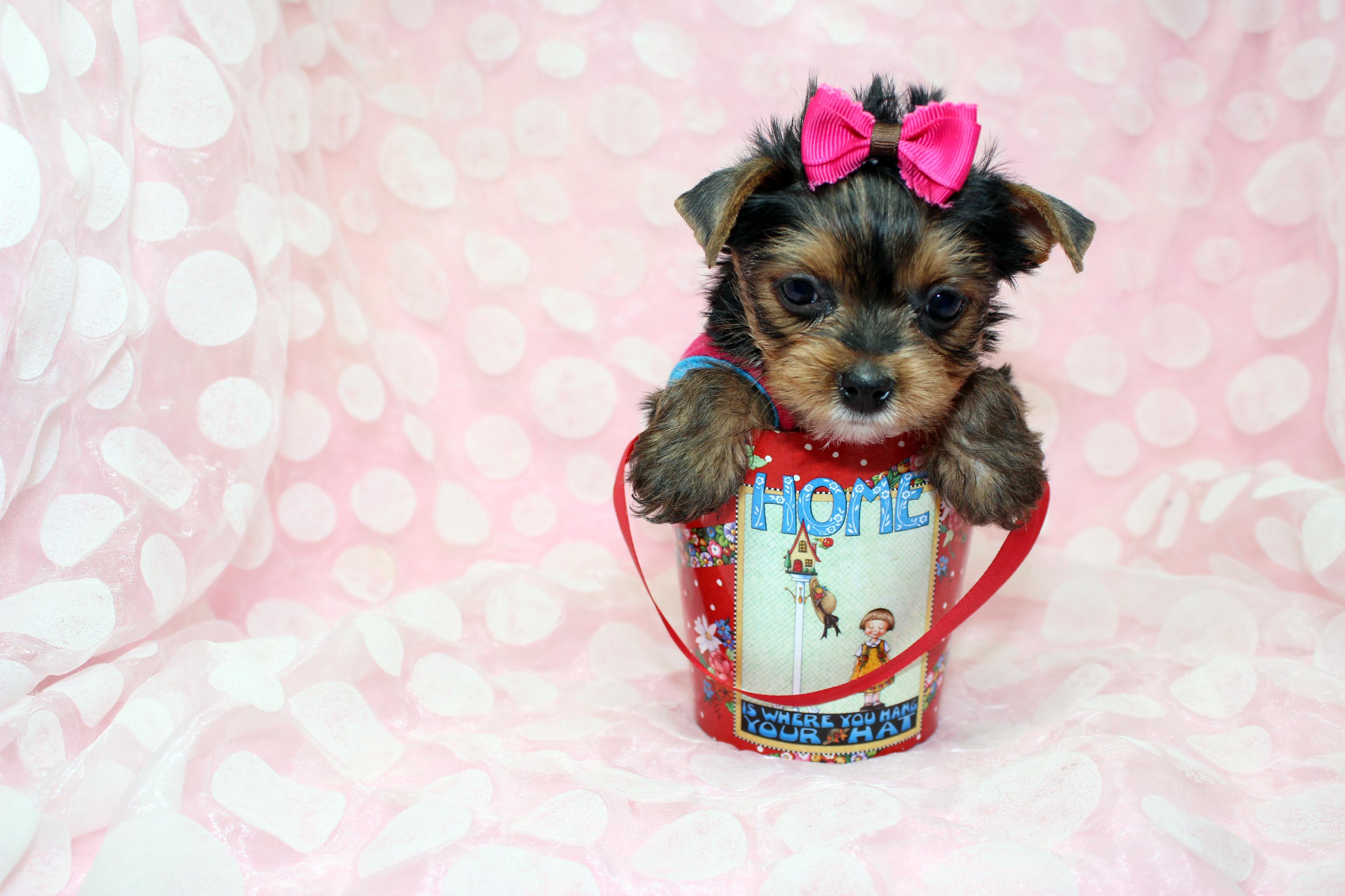Tiny Yorkie Puppy by StarYorkie.com