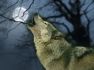 lobo wolpeyper