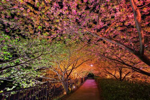 belas imagens wallpaper containing a beech, a live oak, and a california white oak called springtime in Japão