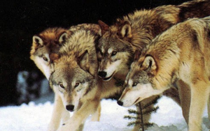 Awesome wolf pack