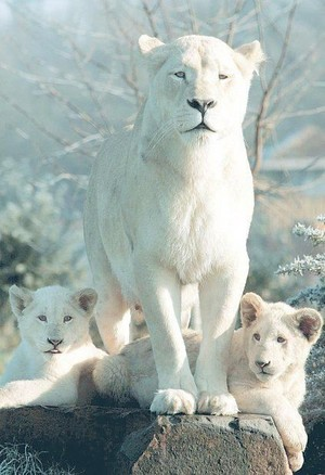 Beautiful Rare White leona And Her Cubs