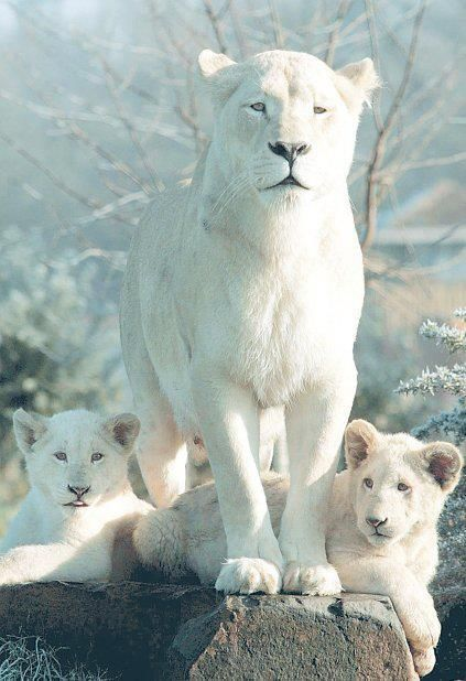 Beautiful Rare White Lioness And Her Cubs