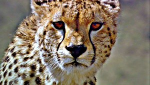 Beautiful cheetah in HDR