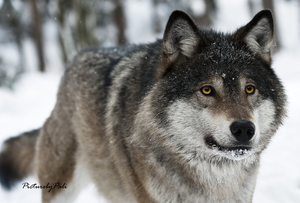 Beautiful wolf w/yellow eyes