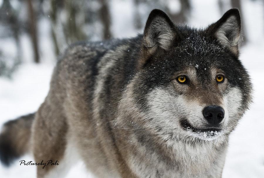 Beautiful নেকড়ে w/yellow eyes