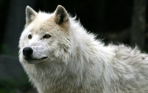 Beautiful lobo