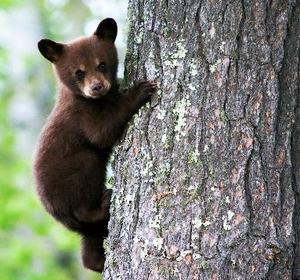 Black ours Cub Climbing arbre