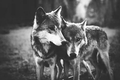 Cute Wolves