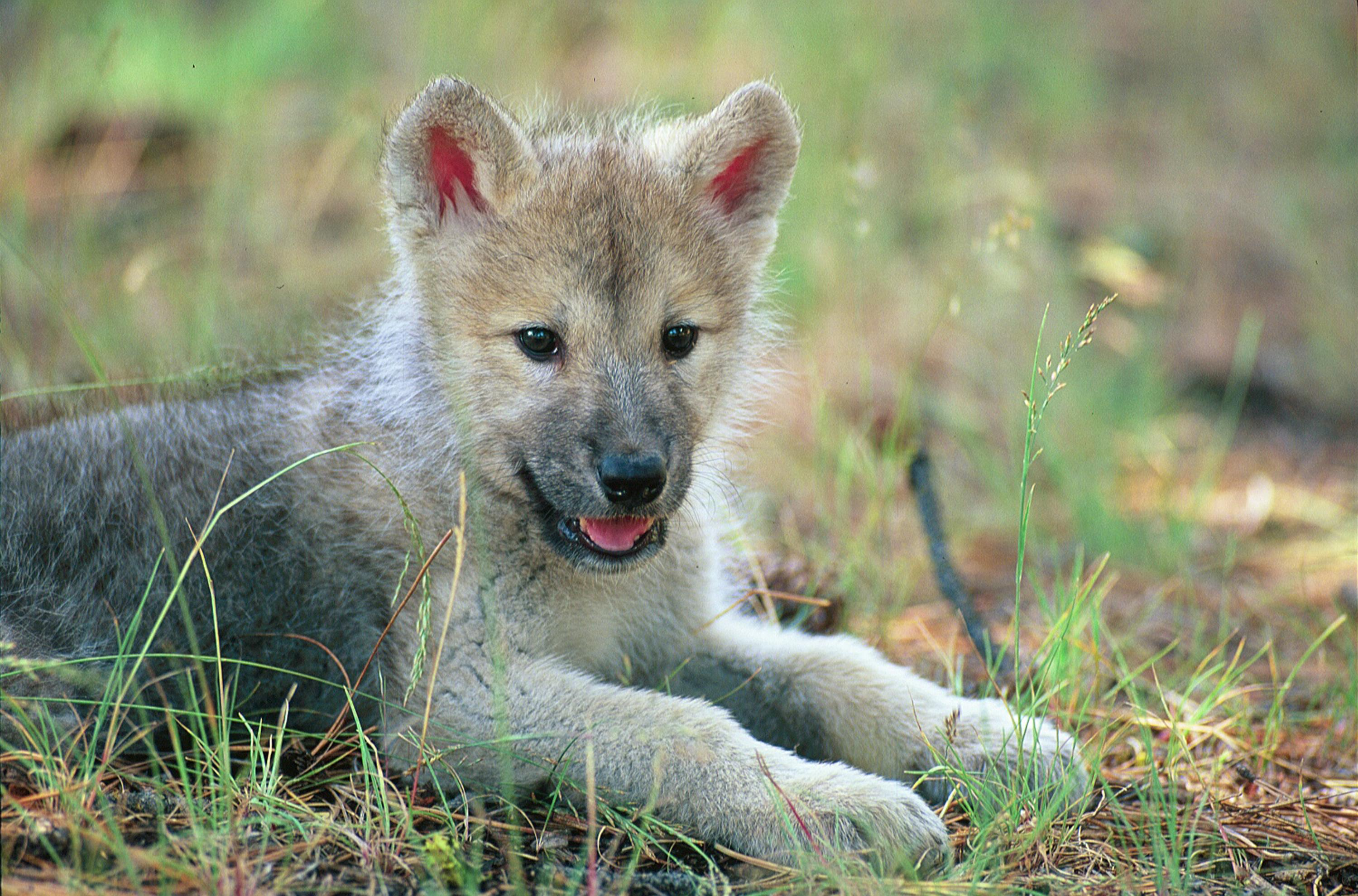Cute wolf pup in field - Wolves - 779.4KB