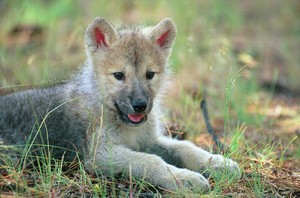 Cute loup pup in field