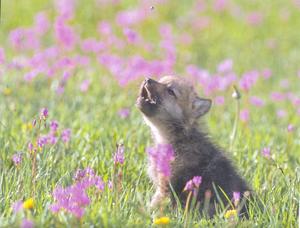 Cute serigala, wolf pup