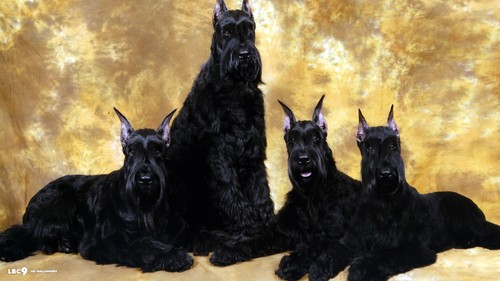Giant Schnauzer wallpaper possibly containing a giant schnauzer called Four Giant Schnauzers