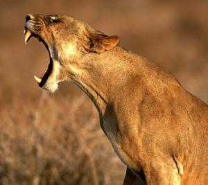 母狮, 雌狮