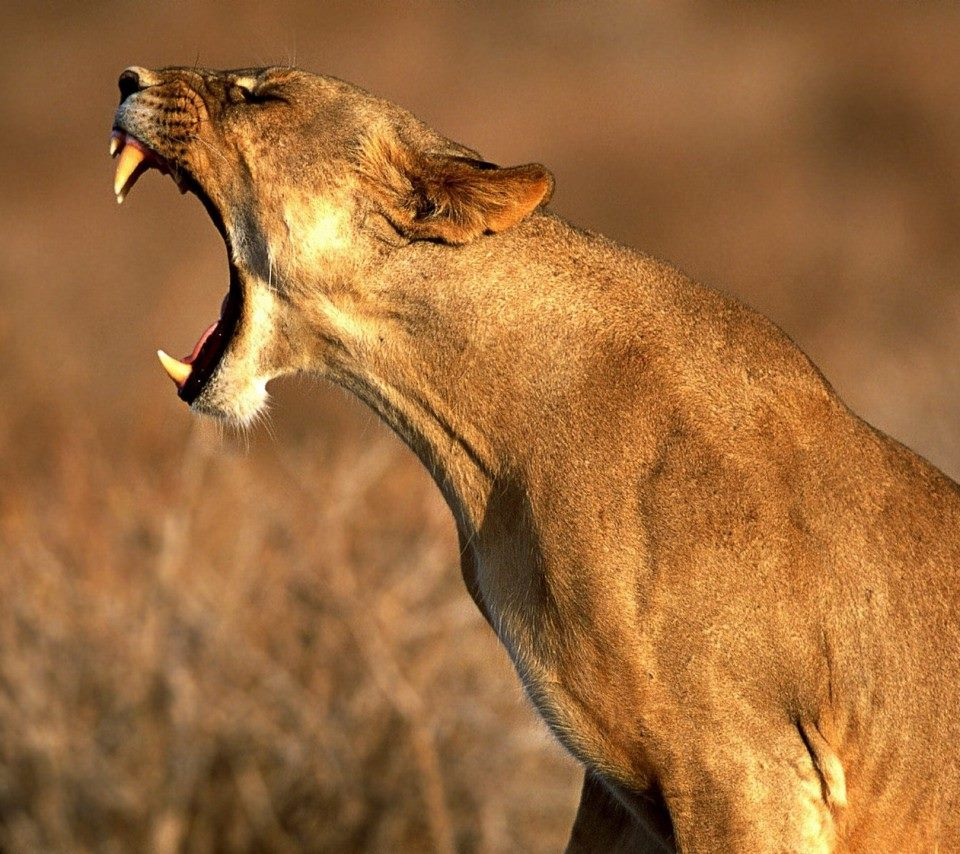 Lions Images Lioness Hd Wallpaper And Background Photos 37037594