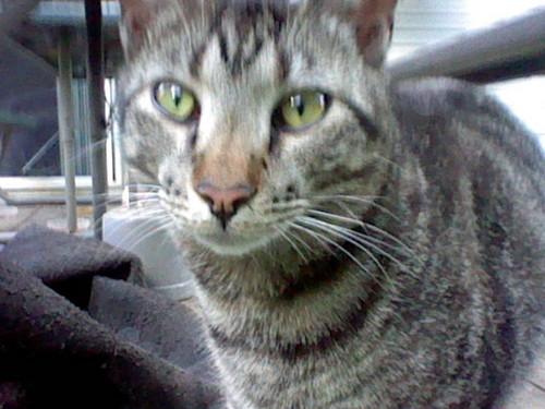 Make Your Own Warrior Cat! hình nền containing an egyptian cat titled Makzillastar