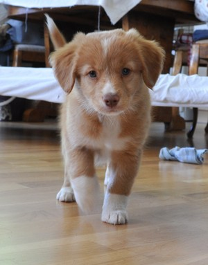 Nova Scotia アヒル, 鴨 Tolling Retriever