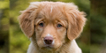 Nova Scotia bebek Tolling Retriever