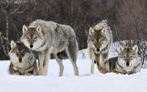 Pack of lobos