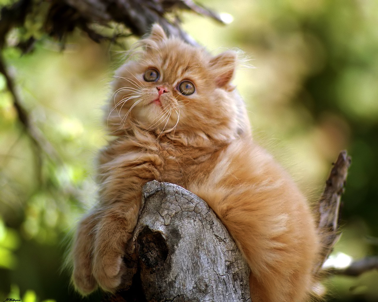 Persian Kitten - mèo hình nền (37009791) - fanpop