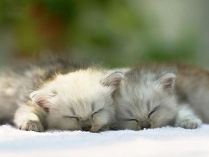 Persian बिल्ली के बच्चे
