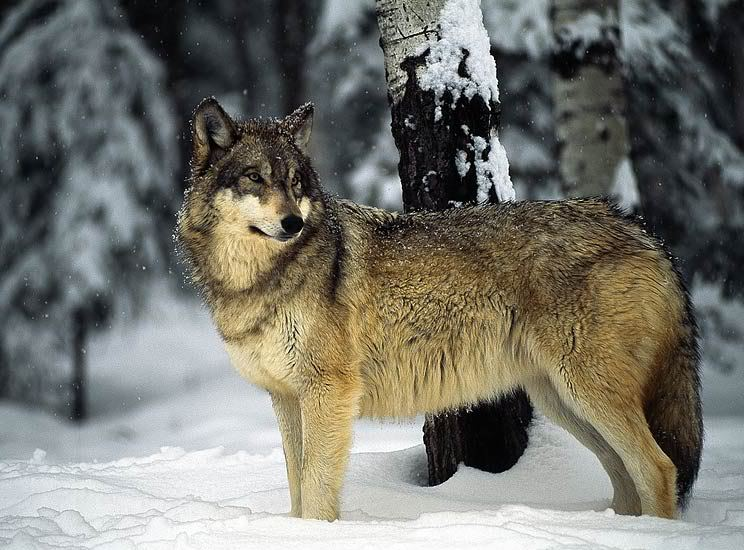 Pretty serigala