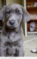 Silver Lab - puppies photo