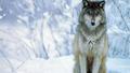 Sitting wolf