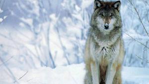 Sitting भेड़िया