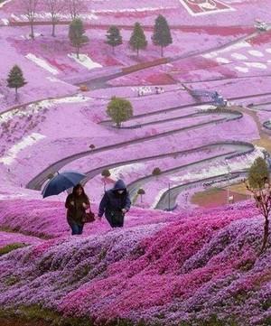 Spring-flowers-on-Hillside--Hokkaido--Japan