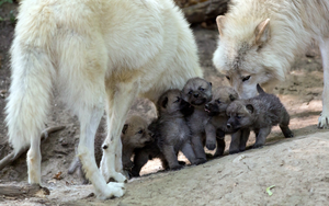 wolf family <3