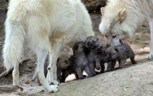 serigala family <3