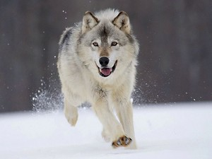 serigala running