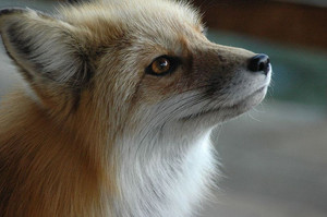 a fuchs named foxes