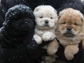 fluffy puppies in snow