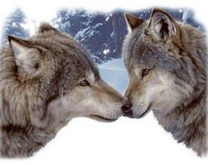 Mbwa mwitu loups nuzzles
