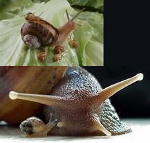 Baby & Mama Snails