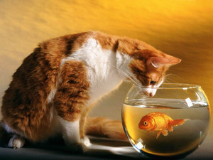 Cat looking the goldfish bowl