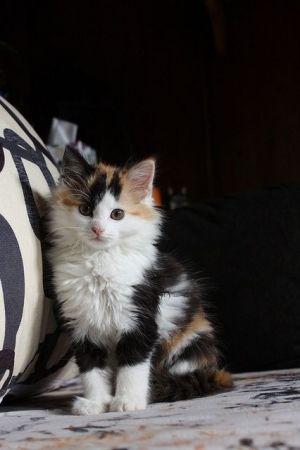 Cute Little Calico Kitten