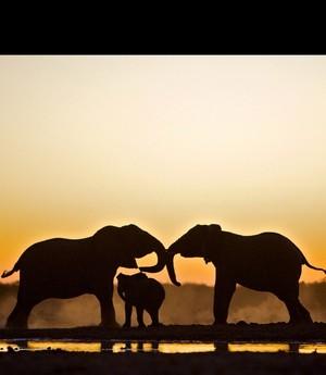 gajah family