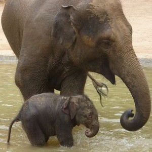Mother and baby elephants